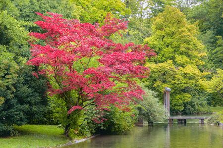 Tree with red colored foliage growing on shore of creek with wooden bridge in autumn park Standard-Bild