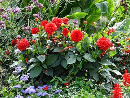 Red Dahlia last flowers in autumn backyard flowerbed