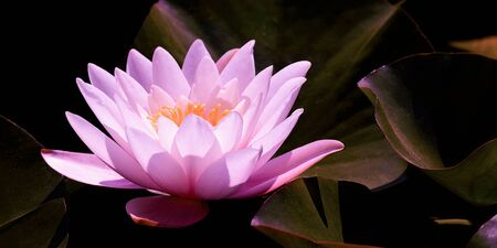 Magic pink water lily flower glowing in romantic moonlight on dark night background