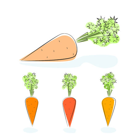 plant stand: Carrot, three kinds of carrots with tops of vegetable, root vegetable on a white background, vector illustration