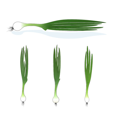 tuber: Green onion, three kinds of chives, vegetables on white background, vector illustration