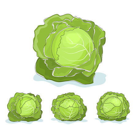 brassica: Cabbage , four kinds of cabbage , vegetable on a white background , vector illustration