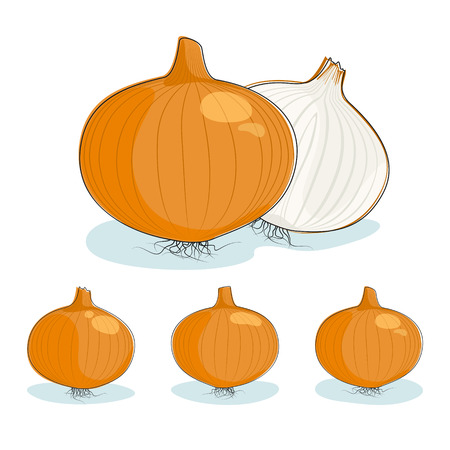 pungent: Onion, one whole onion and sliced onion, three kinds of bulb onion on a white background, vector illustration Illustration