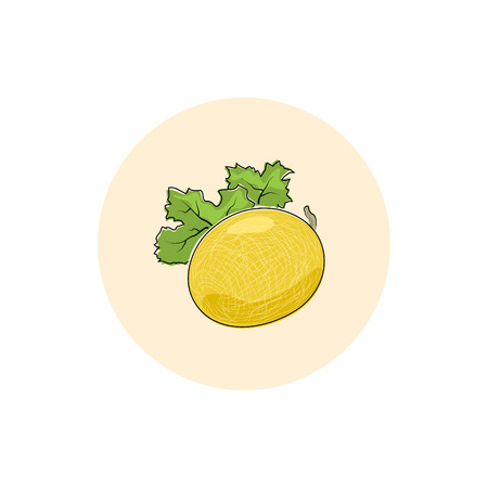honeyed: Melon ,Round Icon Colorful Melon, Fruit Icon, Vector Illustration