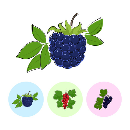 fruitage: Berry Blackberry   on White Background , Set of Three Round Colorful Icons Blackberry, Redcurrant and Blackcurrant , Vector Illustration Illustration