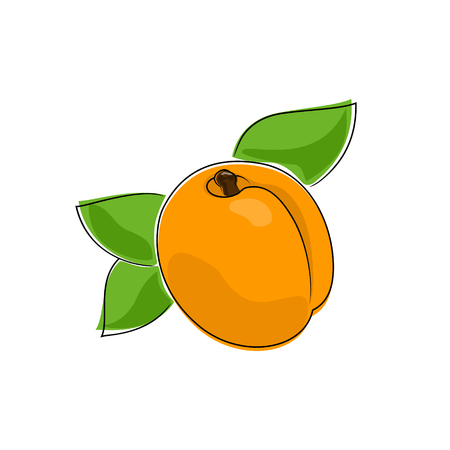 ripened: Apricot Isolated on White, Fruit Apricot, Vector Illustration Illustration