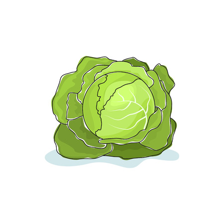 brassica: White Cabbage Isolated on White Background, Vegetables Cabbage , Vector Illustration