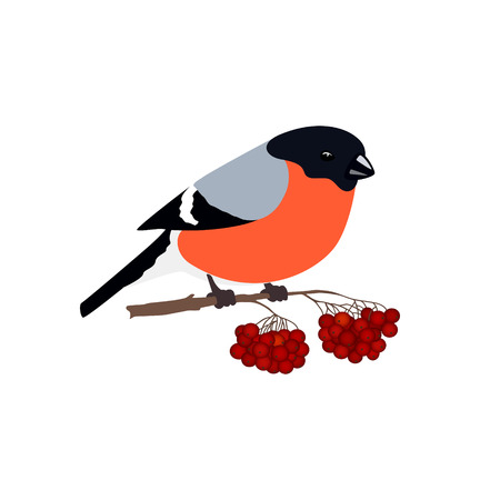 Bullfinch Isolated on White Background, Bird Bullfinch Sitting on a Branch with Bunches of Rowan, Merry Christmas and Happy New Year , Vector Illustration