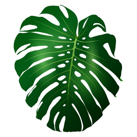 Beautiful big green leaf monstera plant isolated on white background, vector illustration Ilustração