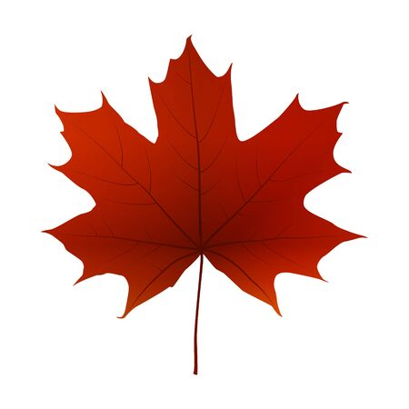 Autumn red maple leaf isolated on a white background, vector illustration