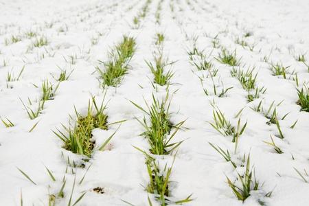 Groen gras teelt onder warme stralen van de voorjaarszon op een veld bedekt met sneeuw