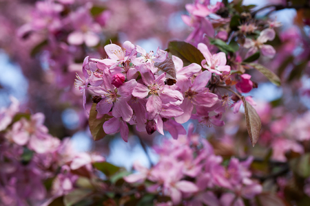 prunus cerasifera: Cherry plum or Prunus Cerasifera flowers.