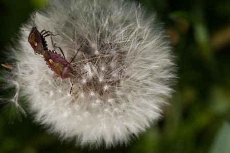 copulation: Two Hemiptera bugs on white dandelion.