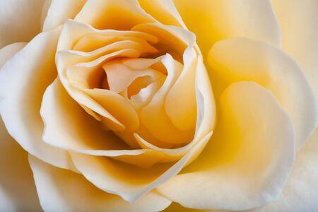 beautiful rose: Beautiful rose flower closeup. Stock Photo