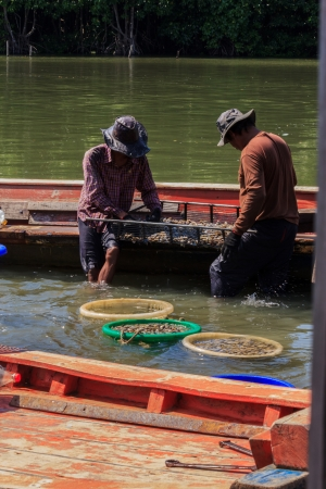 middleman: The image of two Fisherman select the clams small shell  for sell to middleman, at Trad Province Thailand
