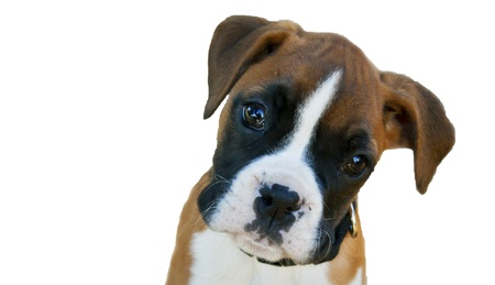 perro boxer: Boxeador alemán Foto de archivo