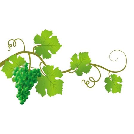 흰색 배경에 녹색 포도 나무 벡터 (일러스트)