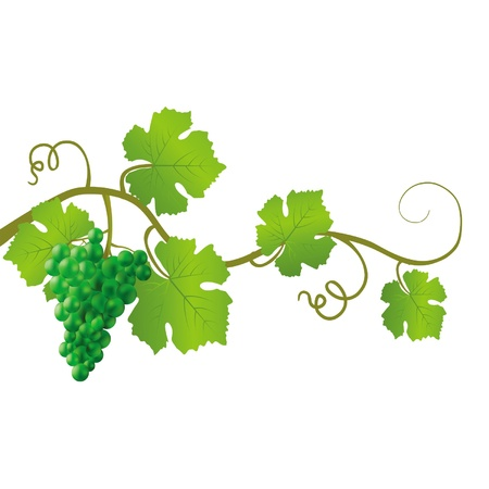 fruitful: Green vine on a white background