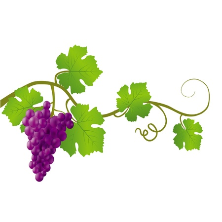 Black grapes on a white background Vector