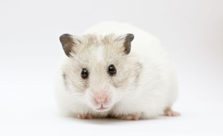 syrian hamster on abstract gray background