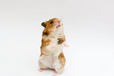 syrian hamster standing (neutral background)