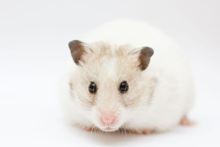 syrian: syrian hamster on abstract white background
