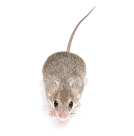 little acomys (cairo mouse) on neutral background