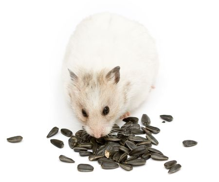 syrian hamster with sunflower on abstract background
