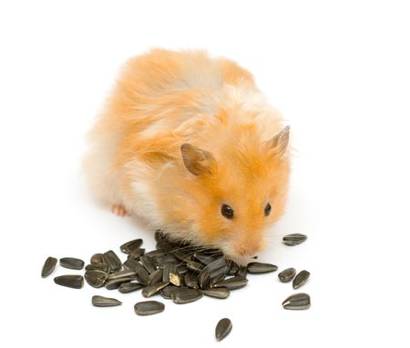 orange color syrian hamster with sunflower