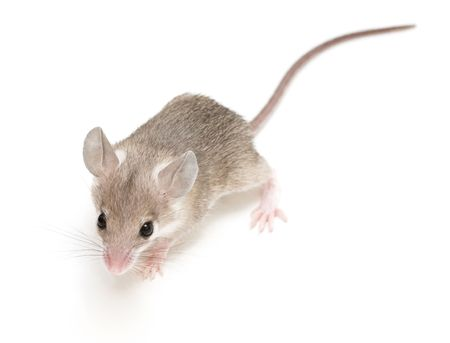 wenig acomys (Kairo Maus) auf neutralem Hintergrund