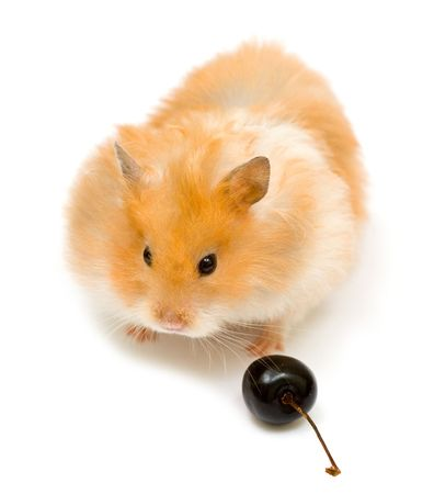 orange color syrian hamster with cherry Stock Photo