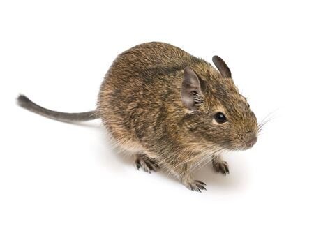 exotic rodent degu (african squirrel) Stock Photo