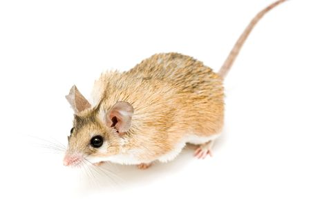 Acomys cahirinus Desmarest (Cairo mouse) on white background