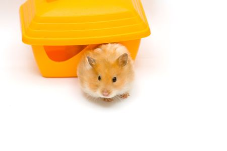 orange color syrian hamster and yellow house Stock Photo