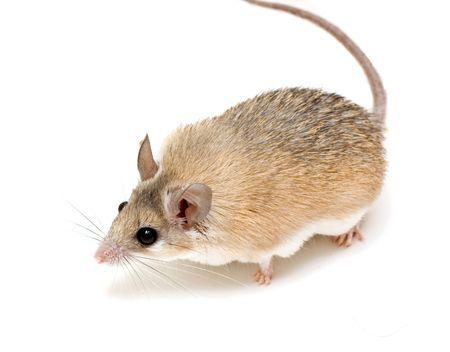 stachelig Maus isoliert auf wei�em Lizenzfreie Bilder