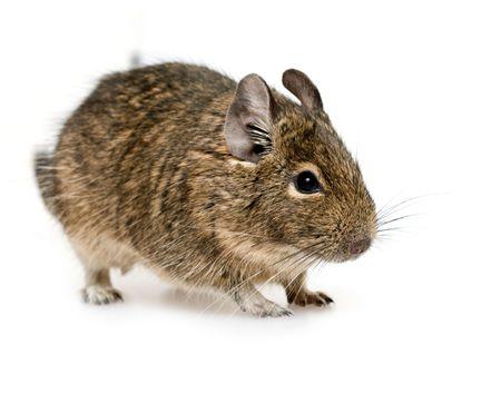 rodent degu on neutral background Stock Photo