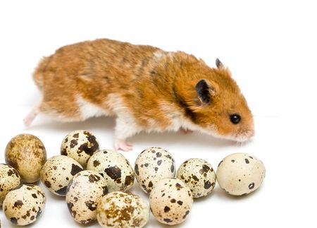 hamster and quaill eggs isolated on white Stock Photo - 5193330