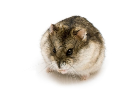 dwarf hamster: Dwarf hamster isolated on white