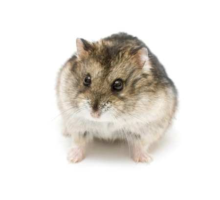 dwarf hamster: Criceto nano isolata on white