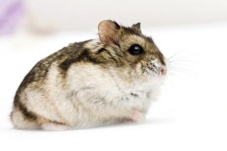 dwarf hamster: Dwarf hamster on neutral background