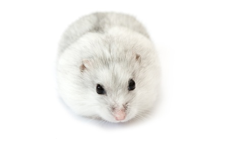 dwarf hamster: white dwarf hamster isolated on white Stock Photo