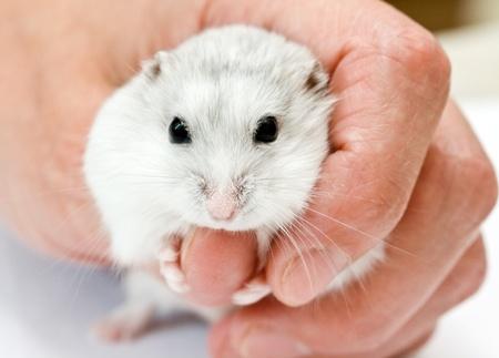 dwarf hamster: white dwarf hamster holding human finger