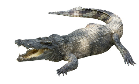 caiman: crocodile isolated on whie