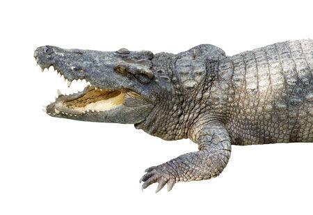 Krokodil isoliert whie