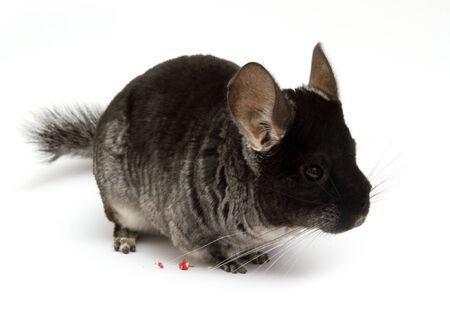 chinchilla isolated on white background