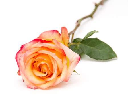 orange rose isolated on white Stock Photo