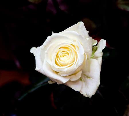 a rose on dark background