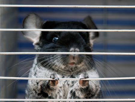 chinchilla sitting in a cage Stock Photo