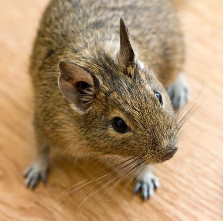 degu (chilean squirrel) on a wooden floor Stock Photo