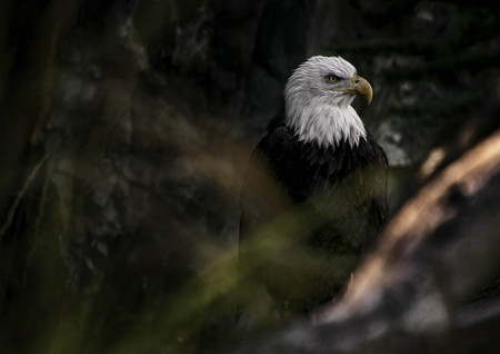 A Bald Eagle sitting on a log looking off into distance.